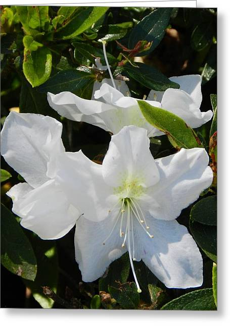 Azalias Greeting Cards - Beauty in white Greeting Card by Sandra Sengstock-Miller