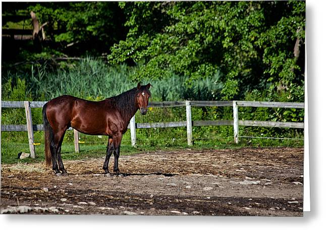 Beauty Of A Horse Greeting Card by Karol Livote