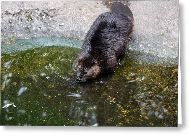Pond In Park Greeting Cards - Beaver - 0008 Greeting Card by S and S Photo