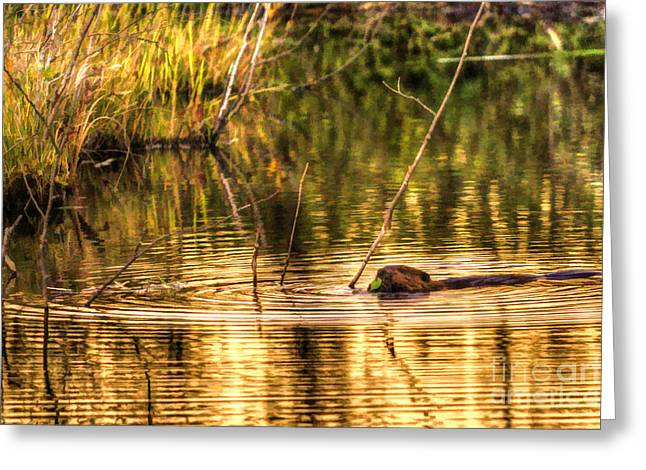 Beaver Eating Late Evening Greeting Card by Dan Friend