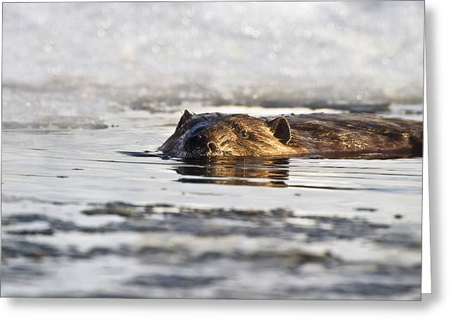 Pond In Park Greeting Cards - Beaver Swimming In The Water In Early Greeting Card by Richard Wear