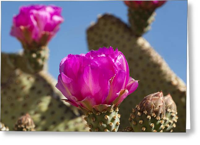 Cactus Flowers Greeting Cards - Beavertail Cactus Blossom 2 Greeting Card by Kelley King