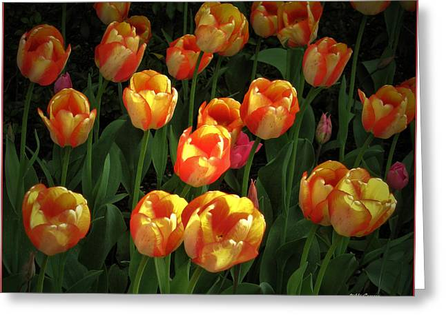 Mikki Cucuzzo Greeting Cards - Bed of Tulips Greeting Card by Mikki Cucuzzo