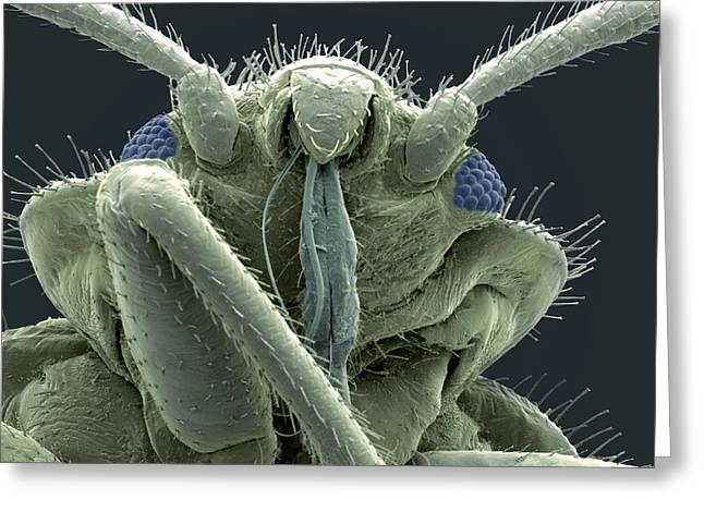 Scanning Electron Microscope Greeting Cards - Bedbug Head, Sem Greeting Card by Steve Gschmeissner