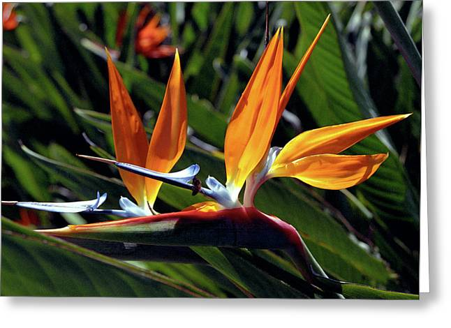 Kevin W. Smith Greeting Cards - Bee and Bird of Paradise Greeting Card by Kevin Smith