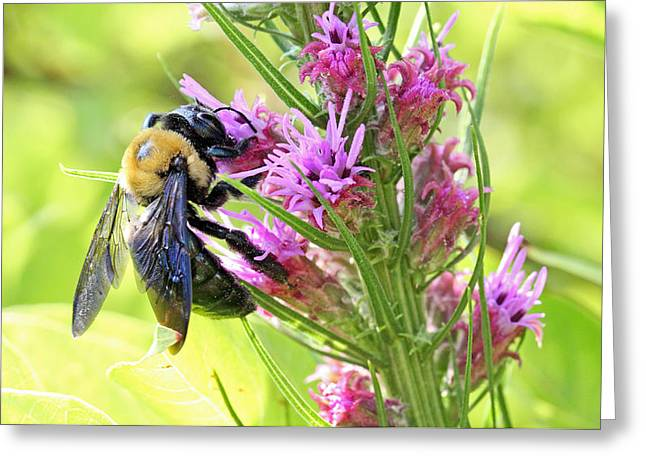 Becky Greeting Cards - Bee at work on a sunny day Greeting Card by Becky Lodes