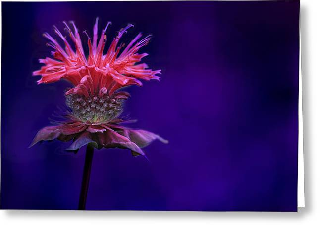 Balm Greeting Cards - Bee Balm Greeting Card by Shelley Neff