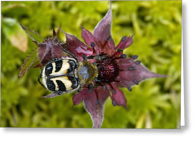 Eating Entomology Greeting Cards - Bee Beetle Feeding On A Flower Greeting Card by Bob Gibbons