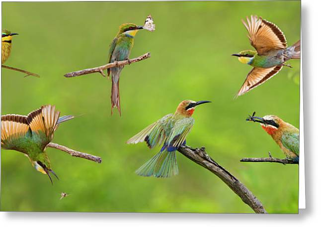 Bee In Flight Greeting Cards - Bee-eater Collage Greeting Card by Basie Van Zyl