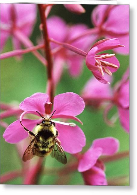 Eating Entomology Greeting Cards - Bee Feeding On Fireweed Flower Greeting Card by Alan Sirulnikoff