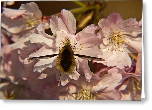 Diptera Greeting Cards - Bee Fly 16 Greeting Card by Douglas Barnett