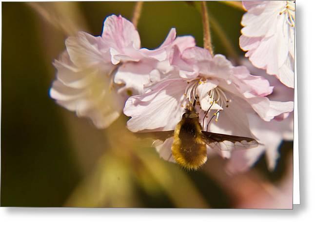 Bee Fly Feeding 1 Greeting Card by Douglas Barnett