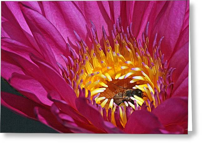 Becky Greeting Cards - Bee hiding in pink waterlily Greeting Card by Becky Lodes