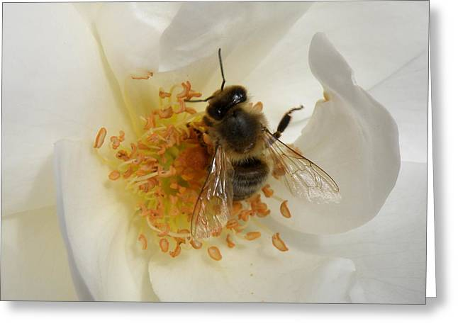 Lainie Wrightson Greeting Cards - Bee in a White Rose Greeting Card by Lainie Wrightson