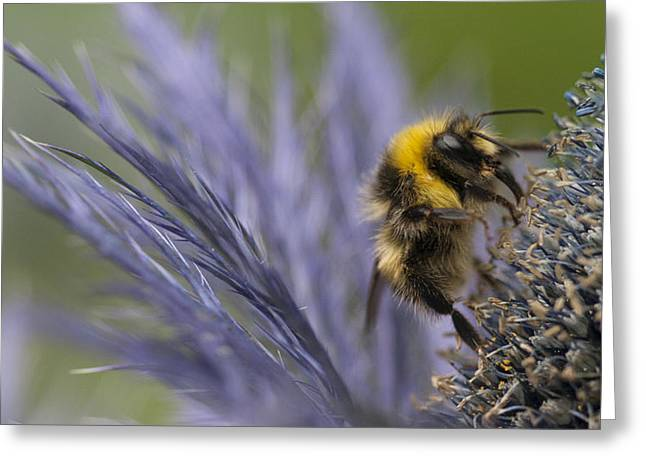 Beeswax Greeting Cards - Bee on a Scottish Thistle Greeting Card by Zoe Ferrie
