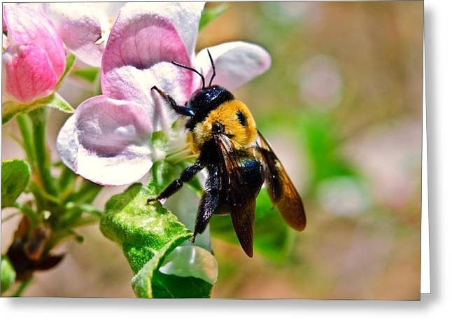 Susan Leggett Greeting Cards - Bee on an Apple Blossom Greeting Card by Susan Leggett