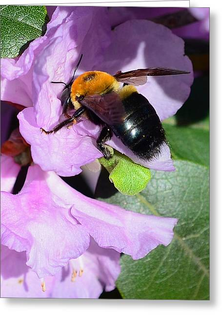 Sun Flower Greeting Cards - Bee on Azalea Bloom Greeting Card by Lisa  Phillips