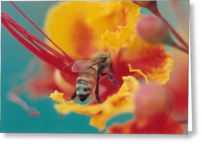 Bee on Bird of Paradise 100 Greeting Card by Diane Backs-Mancuso