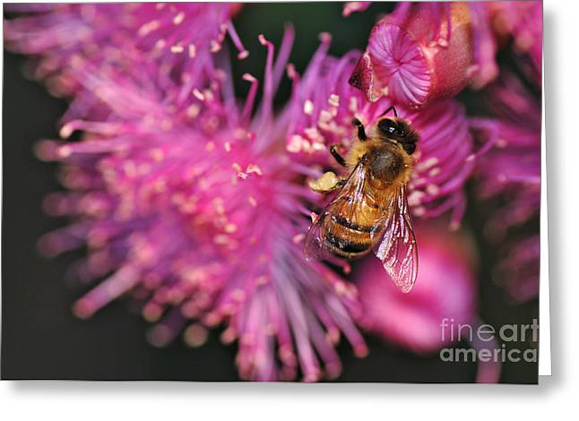 Australian Bees Greeting Cards - Bee on Lollypop Blossom Greeting Card by Kaye Menner