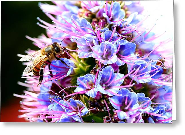 Perrenials Greeting Cards - Bee on Purple Pride of Madeira Flowers . 7D14846 Greeting Card by Wingsdomain Art and Photography