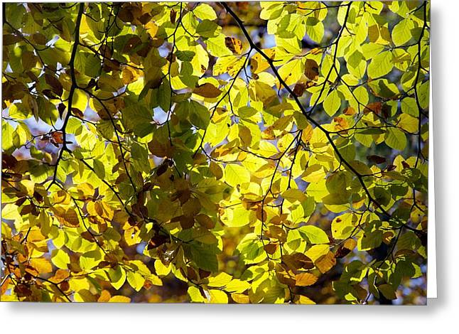 Dappled Light Greeting Cards - Beech Tree Foliage Greeting Card by Dr Keith Wheeler