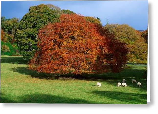 Autumn In The Country Greeting Cards - Beech Tree, Glendalough, Co Wicklow Greeting Card by The Irish Image Collection