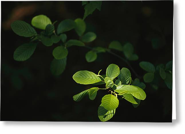 Light And Dark Greeting Cards - Beech Tree Leaves With Spring Foliage Greeting Card by Raymond Gehman