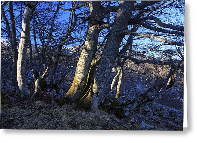 Rama Greeting Cards - Beech trees at sunset 2 Greeting Card by Fernando Alvarez