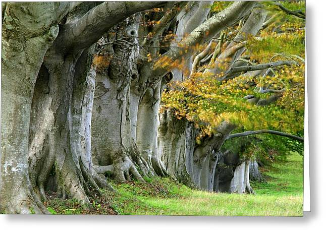 Kingston Greeting Cards - Beech Trees (fagus Sp.) Greeting Card by Colin Varndell