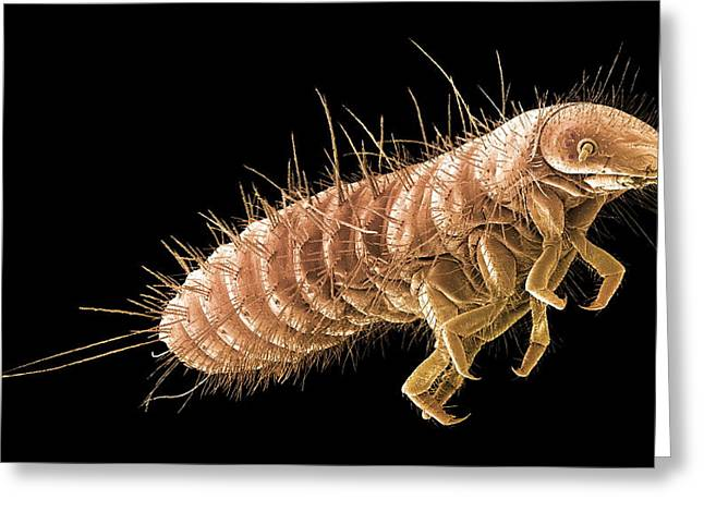 False-colour Greeting Cards - Beetle Larva, Sem Greeting Card by Steve Gschmeissner