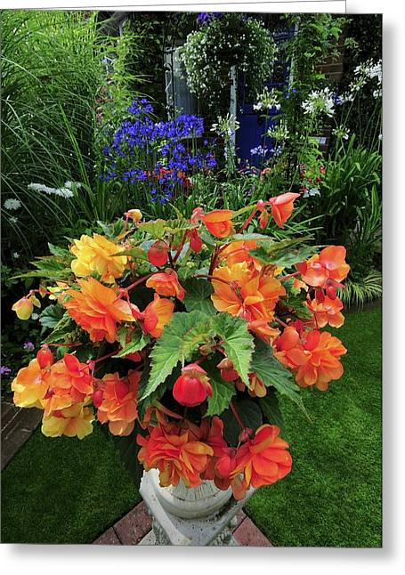 Apricot Greeting Cards - Begonia apricot Shades Greeting Card by Colin Varndell