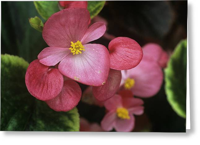 Biology Greeting Cards - Begonia Semperivirens Greeting Card by Archie Young