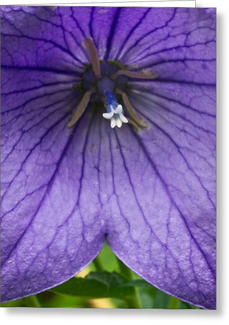 Platycodon Greeting Cards - Bell Flower UpClose Greeting Card by Douglas Barnett