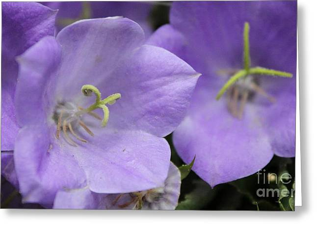 Balloon Flower Greeting Cards - Bell Flowers Greeting Card by Terri Thompson