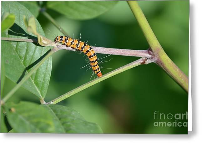 Rattlebox Greeting Cards - Bella Moth Caterpillar  Greeting Card by Kathy Gibbons