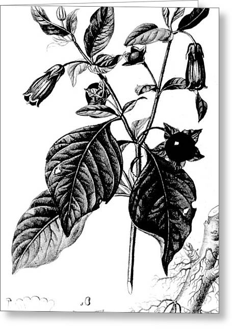 Bella Donna Greeting Cards - Belladonna, Alchemy Plant Greeting Card by Science Source