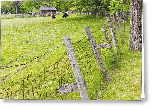 Belted Galloway Cows Farm Rockport Maine Greeting Card by Keith Webber Jr