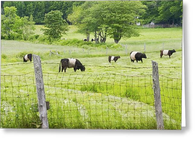 Maine Agriculture Greeting Cards - Belted Galloway Cows On  Farm Rockport Maine Photo Greeting Card by Keith Webber Jr