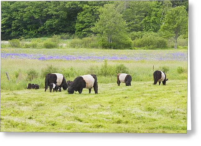 Maine Agriculture Greeting Cards - Belted Galloway Cows Pasture Rockport Maine Photograph Greeting Card by Keith Webber Jr