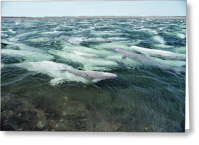 Belugas Swimming And Molting Greeting Card by Flip Nicklin