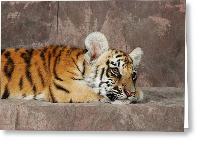 Bengal Cub Greeting Card by David Taylor