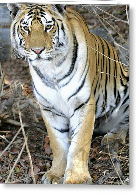 The Tiger Greeting Cards - Bengal Tiger In Pench National Park Greeting Card by Axiom Photographic