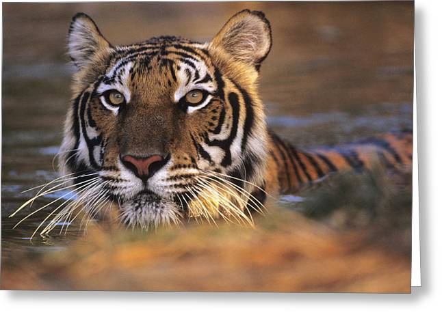 Panthera Tigris Greeting Cards - Bengal Tiger (panthera Tigris) Greeting Card by Louise Murray
