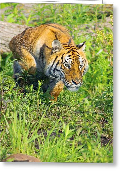 Bengal Tigress On The Prowl Greeting Card by John Pitcher