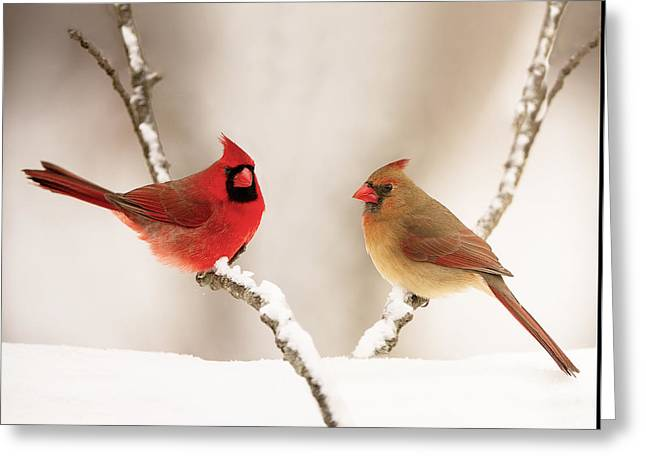 Male Cardinals In Snow Greeting Cards - Best Dressed Greeting Card by Martha Moore