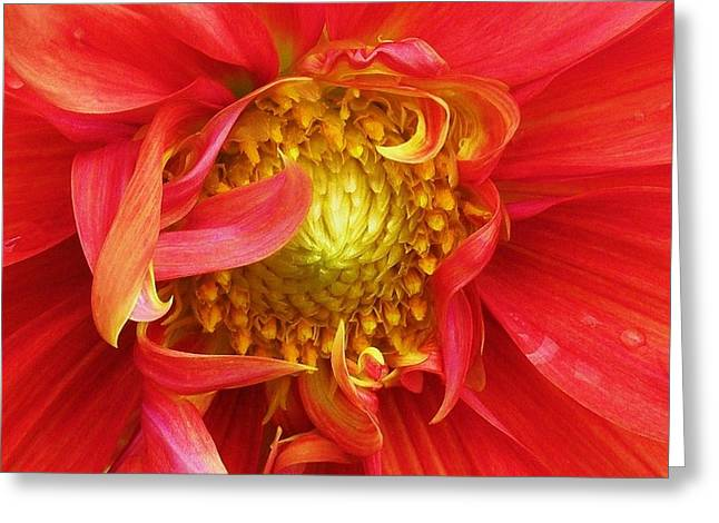 Dinner-plate Dahlia Greeting Cards - Better Late ... Greeting Card by Cathy Sosnowski