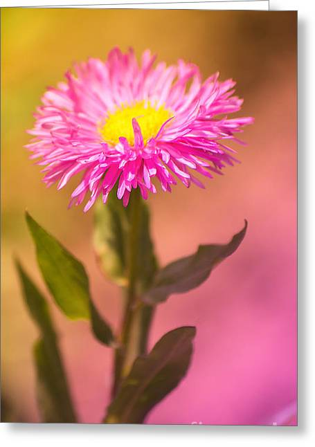 Blume Greeting Cards - Bi-colors  Greeting Card by Angela Doelling AD DESIGN Photo and PhotoArt
