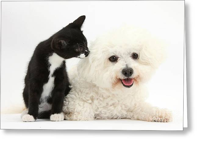 Tuxedo Greeting Cards - Bichon Frise Dog And Tuxedo Kitten Greeting Card by Mark Taylor
