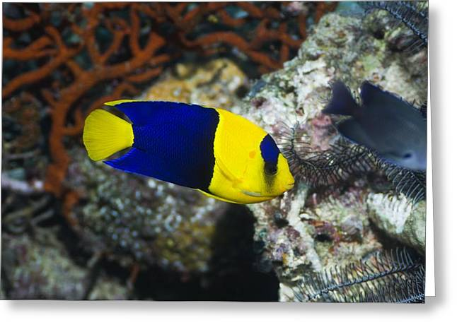 Reef Fish Greeting Cards - Bicolour Angelfish Greeting Card by Georgette Douwma