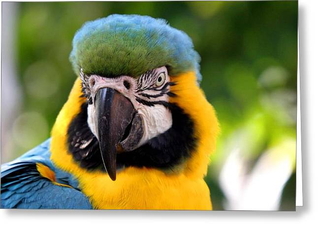 Blue Macaws Greeting Cards - Big Blue Greeting Card by Steve Parr